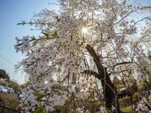 Fully bloomed weeping cherry blossomsshidarezakura at Samurai District of Kakunodate,Akita,Tohoku,Japan in spring. The city of Kakunodate is famous for its Royalty Free Stock Images