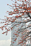 City kapok flowers. Lot of crimson kapok flowers in full bloom dotted thickly on the ceiba tree,beautiful curving twigs and branches Royalty Free Stock Image
