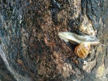 Shiny snail crawling down the tree trunk. City land snail up a tree crawling down the trunk royalty free stock image
