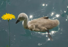 Chick swan on the lake Royalty Free Stock Images