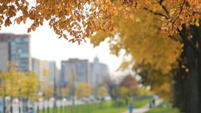 City landscape - trees with golden leaves against the backdrop of a big city. Autumn forest - yellow aspen leaves in the rays of the setting sun stock video