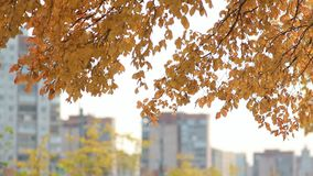 City landscape - trees with golden leaves against the backdrop of a big city. Autumn forest - yellow aspen leaves in the rays of the setting sun stock footage