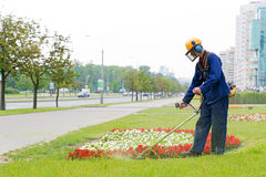 City landscaper cutting grass. City landscaper man gardener cutting grass around planted flowers with string lawn trimmer Royalty Free Stock Images