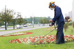 City landscaper cutting grass. City landscaper man gardener cutting grass around planted flowers with string lawn trimmer Stock Photos