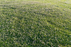 City lawn with white clover Stock Photos