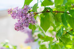 City lilac. Nice lilac plant growing in the city Stock Images