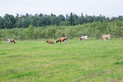 Caws and green grass, wood with blue sky. royalty free stock photos