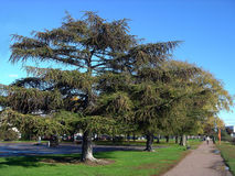City old larches. City park in the summer Stock Photos