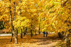 City park alley in autumn. Couple walking along autumn alley in the city park Stock Photos