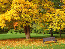City park in autumn. Bench and maple in city park in the autumn royalty free stock photography