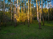 In the city park in the background birch grove.  royalty free stock photography