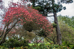 City Park Dogwood Tree. A view a Dogwood tree with flowers at Hamilton Viewpoint Park in West Seattle, Washington Stock Images