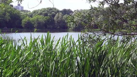 City park lake view. A video of city park lake with trees and tall grass stock video footage