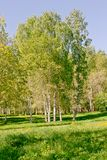 In the city park a lot of birches with white bark and different vegetation. Landscape of a birch grove on a sunny day in a city park stock photo