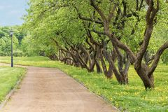 City park recreation area in the summer. Fruit-trees along a walking path, an accurate lawn, the blossoming yellow dandelions in. The field. On a background the stock image
