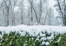 City park in the snow. Snow-covered bushes and trees. Boxwood is evergreen. Nature. Background for the desktop wallpaper. Design for printing on paper Stock Images