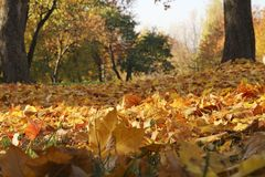 In the city park Tsaritsyno, Moscow, autumn yellow leaves, maple trees.  stock photography