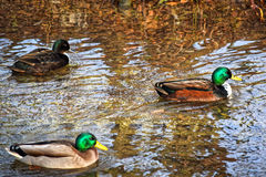 City Park in winter.Ducks swim in a cold river. City Park in winter.Ducks swim in a cold river swim next to them jelthe and fallen red leaves Royalty Free Stock Photography