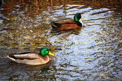 City Park in winter.Ducks swim in a cold river. City Park in winter.Ducks swim in a cold river swim next to them jelthe and fallen red leaves Stock Photography