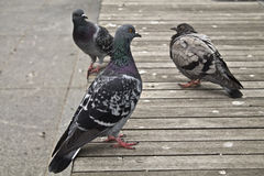 City pidgeon Stock Photography