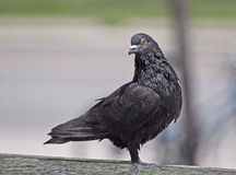 City pigeon Royalty Free Stock Photography