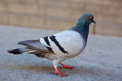 City Pigeon Royalty Free Stock Photo