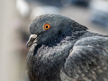 City pigeon closeup. Stock Photos