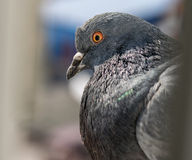 City pigeon closeup. Royalty Free Stock Photography