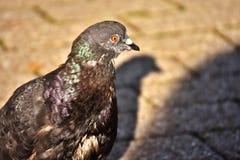 City Pigeon, Foraging, Dove, Bird Stock Image