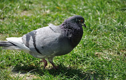 City pigeon on the grass Stock Image
