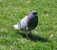 City pigeon on the grass Royalty Free Stock Photography