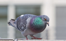City Pigeon stock photography