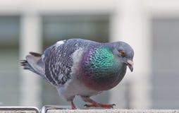 City Pigeon Stock Photography