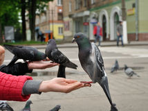 City pigeon on a hand Royalty Free Stock Photos