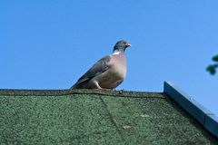 City pigeon on a roof Stock Photo