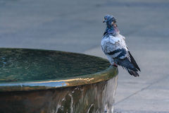 City pigeon sitting on fountain Royalty Free Stock Photos