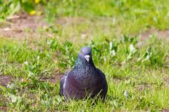 City pigeon sitting in the green grass and looking around stock image