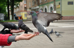 City pigeon sitting on the hand Royalty Free Stock Photos