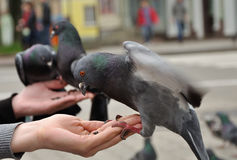 City pigeon sitting on the woman hand Stock Images