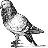 City pigeon Royalty Free Stock Image