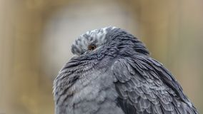 City Pigeon In Winter Royalty Free Stock Photo