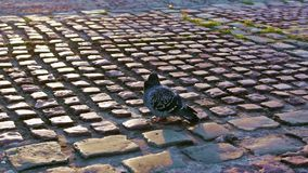 City pigeons in autumn sunset stock video footage