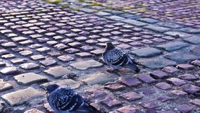 City pigeons in autumn stock video footage