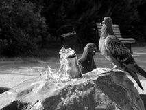 City pigeons drink water on a hot day in black and white Royalty Free Stock Image