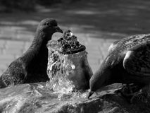 City pigeons drink water on a hot day in black and white Stock Images