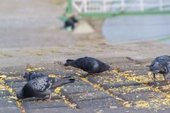 City pigeons are fed. The Wild City Pigeons feed on the promenade along the Danube River in Novi Sad, Serbia stock image
