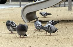City pigeons. stock photos
