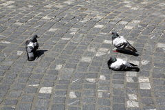 City pigeons by hot summer day Stock Photos