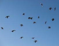 City pigeons. Royalty Free Stock Photo