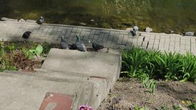 City pigeons sit on the shore of a lake on a sunny day. stock footage